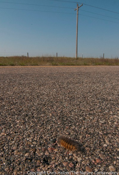 Fuzzy caterpillar crossing the highway west of Taylor, Nebraska.
