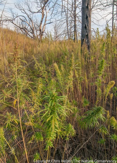 Hemp and marestail