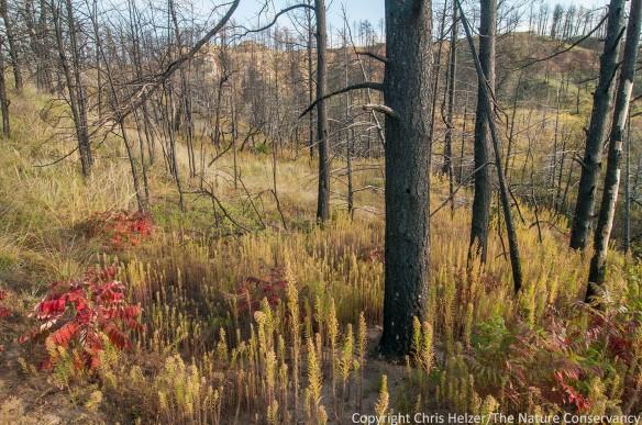 Pine woodland