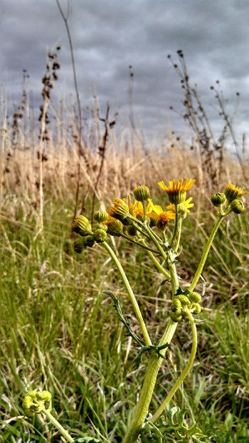 Prairie ragwort (Packera plattensis) - The Nature Conservancy's Platte River Prairies.  Photo by Kim Tri