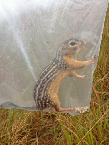 Thirteen-lined ground squirrel (Ictidomys tridecemlineatus). When I open a trap, I gently plop the critter into a bag in order to minimize handling exposure. I can weigh, identify and sex the critter while it's in the bag. It's safer for me, and the animal is only in there for a few seconds to a minute.