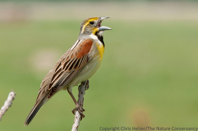 Birds such as this dickcissel can provide color, movement and noise all by themselves...