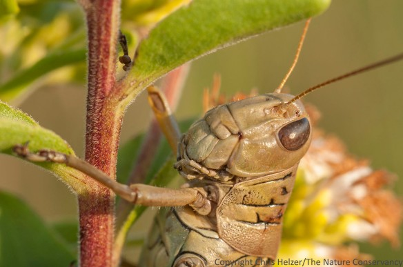A differential grasshopper (that's its name, not its demeanor) on stiff goldenrod.