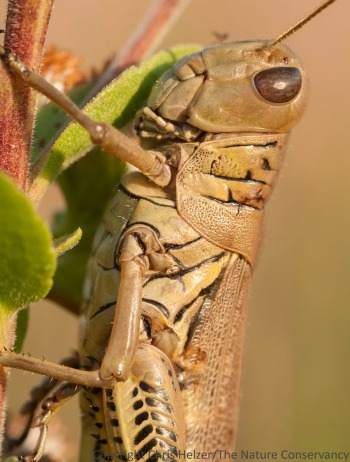 The olive-greenish color and the strong herringbone pattern on its back leg helps distinguish the differential grasshopper from other species.