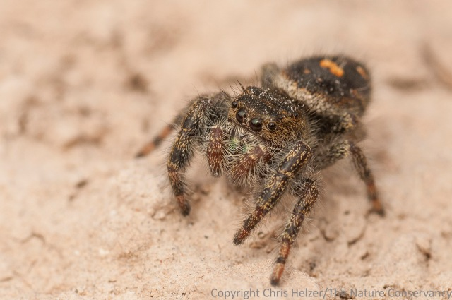 This little jumping spider was hunting on the sandstone face of the rocky bluffs.