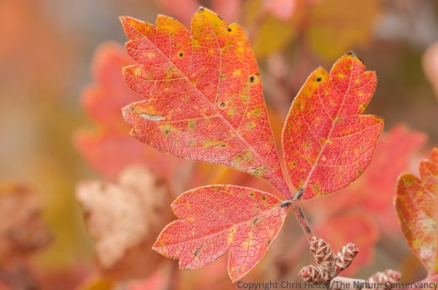 The red fall foliage of skunkbush sumac (Rhus trilobata) provided bright highlights across the Wildcat Hills this week.