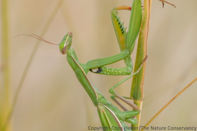 The European mantis (Mantis religiosa).  We saw several of these at Bead Mountain, along with other fun critters including a bull snake, glass lizard (I didn't get to see either of those), a rock wren nest, and lots of black beetles.