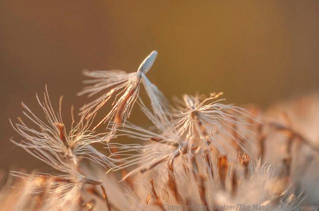 More stiff goldenrod seeds.