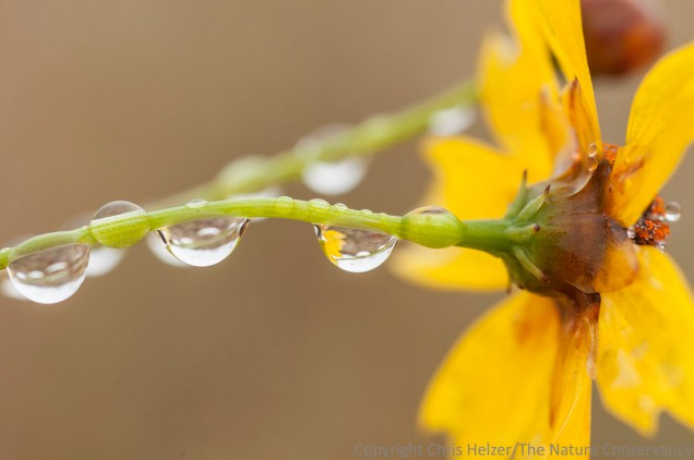 Droplets on a late-blooming plains coreopsis.