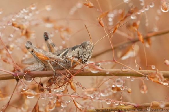 A grasshopper on a water-bejeweled sand lovegrass flower.