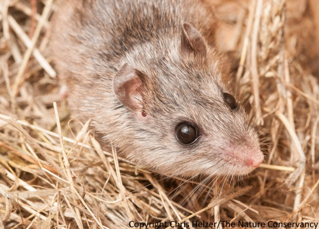 The northern grasshopper mouse.  Note the big eyes and ears.