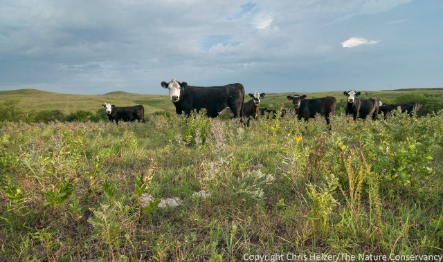 Selective grazing by cattle can have positive impacts on both plant diversity and wildlife habitat.  These cattle at Konza Prairie in Kansas are grazing on primarily grass and leaving plants such as leadplant and purple prairie clover ungrazed.