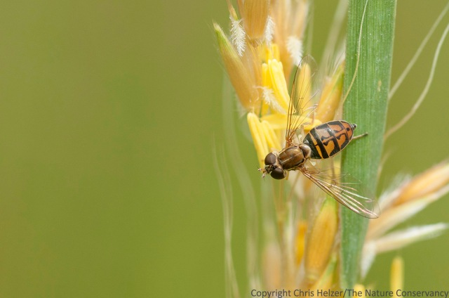 This hover fly (aka syrphid fly or flower fly) was taking advantage of the pollen on indiangrass.  While grasses are wind pollinated, flies and bees are often seen feeding on them as well (including corn plants).