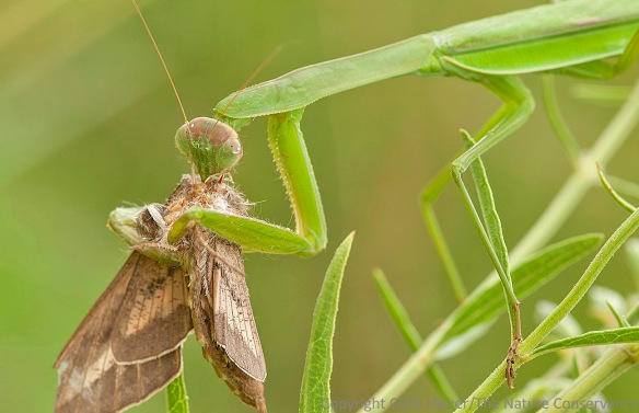 A Chinese mantis feeding on a sphinx moth.  Lincoln Creek Prairie; Aurora, Nebraska.