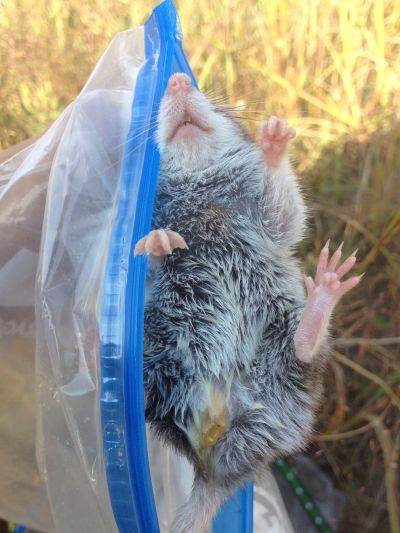 The underside of a grasshopper mouse. If you look closely, there's a faint orange circle on this one's chest, suggesting that I marked it on a previous week's transect.