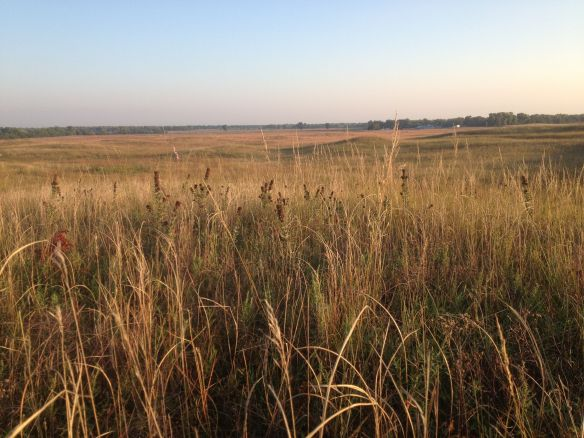 The sandhills area of the Platte River Prairies - habitat of the northern grasshopper mouse.  Can you spot the flag marking a trap location?