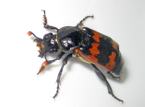 The burying beetle Dillon found...  The Nature Conservancy's Platte River Prairies, Nebraska.