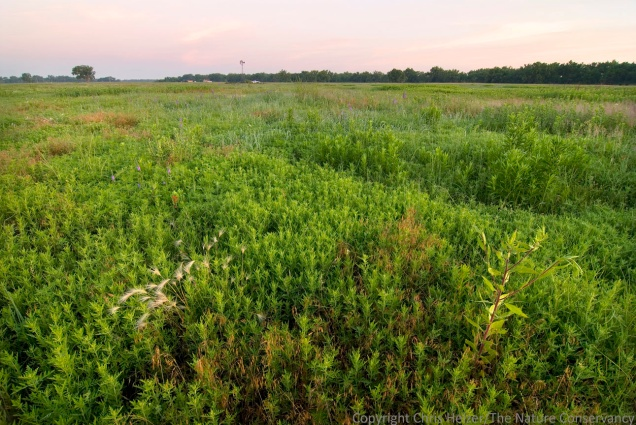 "A grass farmer's nightmare, these ragweed plants and other ""weeds"" play important ecological roles and fill in open spaces created by intensive grazing or drought."