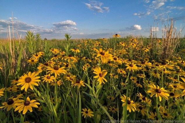 Black-eyed susan  is a showy example of an opportunistic plant species that thrives when surrounding vegetation is weakened.  Other species I look for include ragweeds, hoary vervain, annual sunflowers, ironweed, ragwort, annual thistles, and many others.