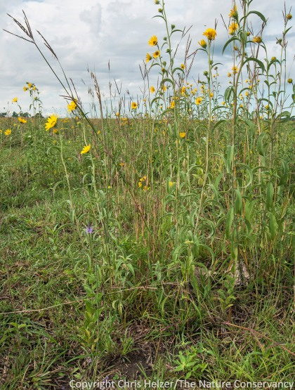 Grazing can create very important habitat structure such as this short grass/tall forb habitat at our Platte River Prairies.