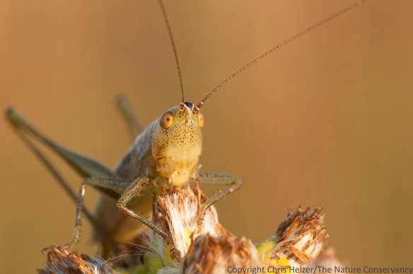 A katydid on stiff goldenrod.  Frequent readers of The Prairie Ecologist will remember that you can distinguish a katydid from a grasshopper by its very long antenna.