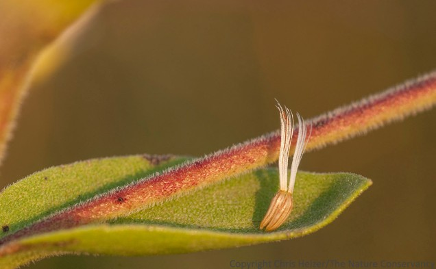 Stiff goldenrod seeds resting on the leaf beneath the seedhead they dropped from.