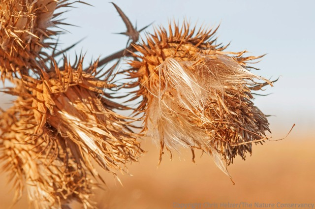 The spiny beauty of Flodman's thistle seed heads.