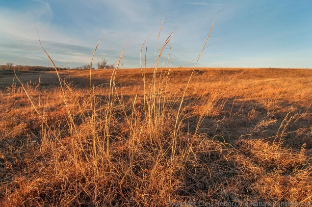 Tall dropseed (Sporobolus compositus) in golden prairie.