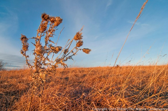A Flodman's thistle (native species) stands out against the sky.
