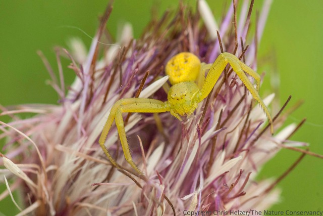 A crab spider on Flodman's thistle (Cirsium flodmanii) at the Helzer family prairie.