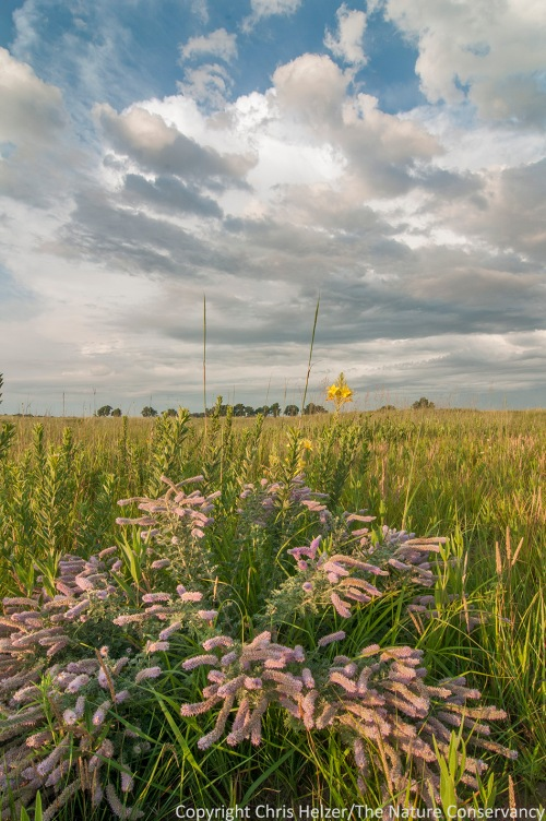 Can you name this wildflower?  The Nature Conservancy's Platte River Prairies, Nebraska.