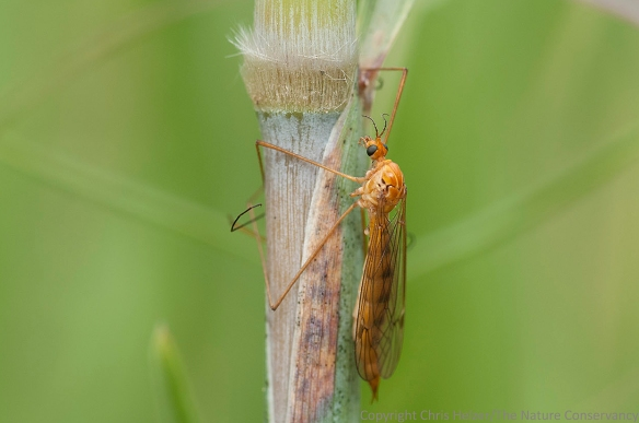 A crane fly on indiangrass at Lincoln Creek Prairie - Aurora, Nebraska.