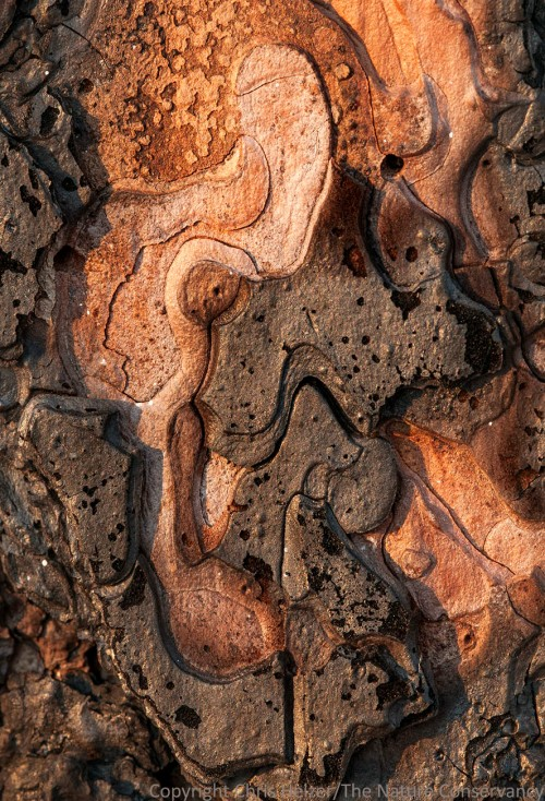Ponderosa pine bark on a burned tree at The Nature Conservancy's Niobrara Valley Preserve, Nebraska.
