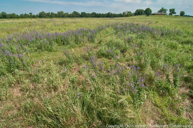 Hoary vervain (purple) helps trace the outline of this ugly patch, which is also filled with species such as sweet clover, tall dropseed, and Kentucky bluegrass.