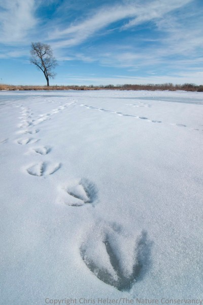 Canada goose tracks were all over the site, along with coyote, mink, rabbit, and many others.