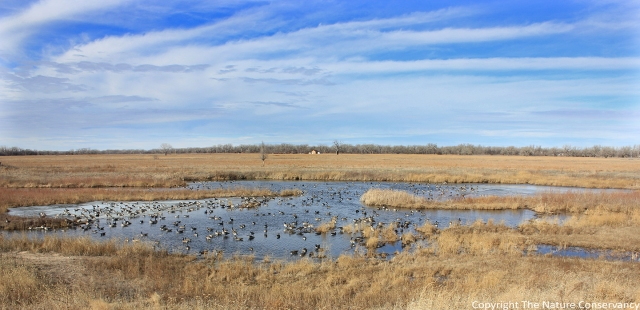 Canada geese on the Derr Wetland Restoration.