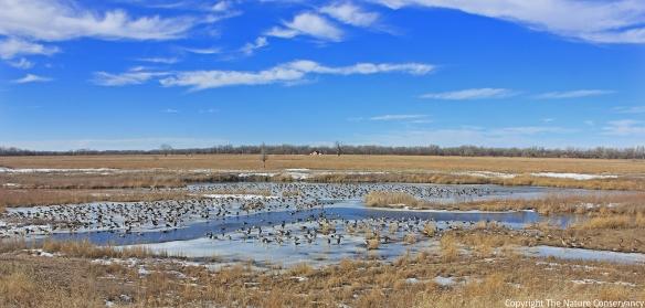 geese again