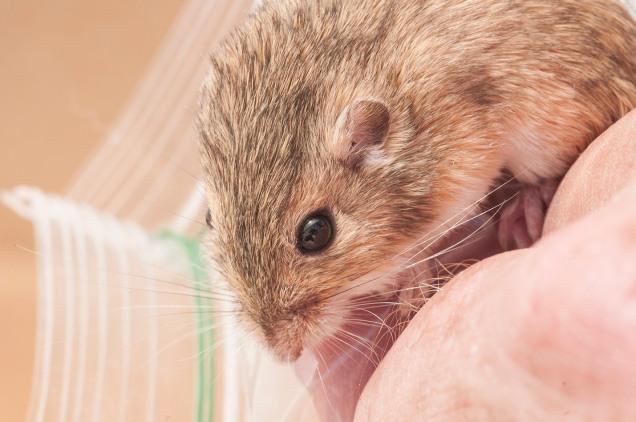 The plains pocket mouse.