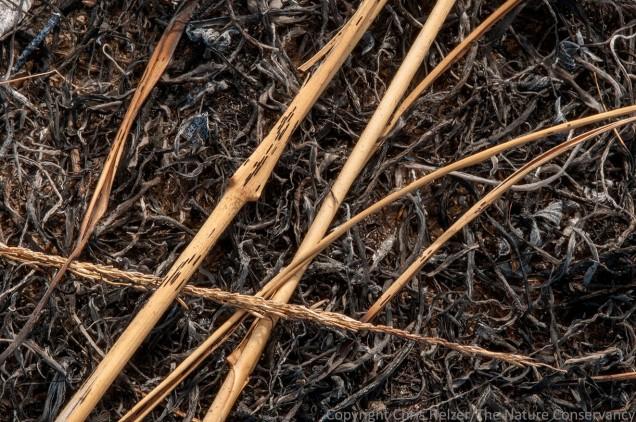 Tall dropseed (Sporobolus compositus) on ashes.
