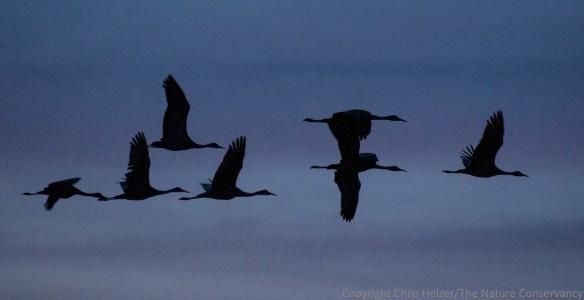 Flying cranes silhouetted against the dusk.  The Nature Conservancy's Platte River Prairies, Nebraska.