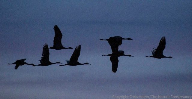 Flying cranes silhouetted against the dusk.  The Nature Conservancy's Platte River Prairies, Nebraska.