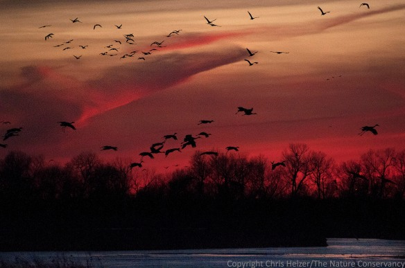 Sandhill cranes landing on the Platte River, where they will roost overnight.  Because of low light levels, this photo was taken with an ISO of 2000, making it relatively grainy.