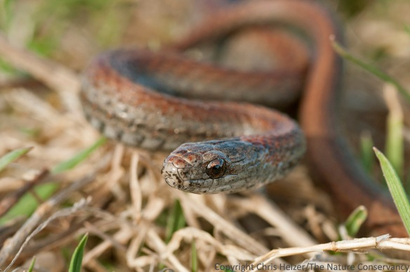 A redbelly snake (Storeria occipitomaculata) found in Hall County, Nebraska.