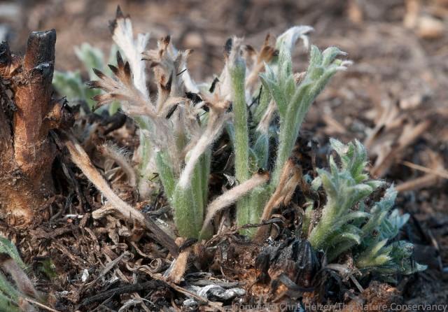 Green sage (Artemisia campestre)