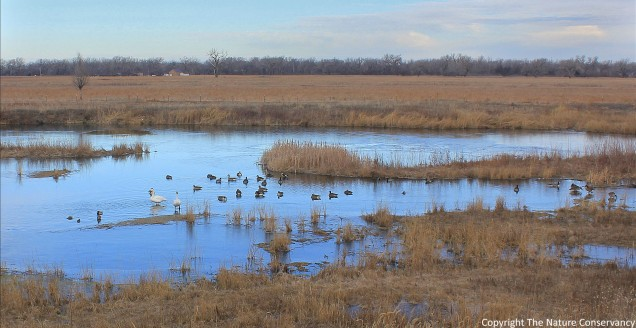 Trumpeter swans on the restored Derr Wetland.  February 13, 2015