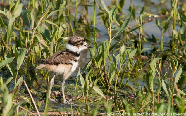 Killdeer chick at the Helzer family prairie.