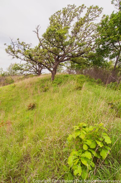 A small bur oak is fighting to establish itself on a prairie ridge as older oaks near the end of their lives.  Both in the woodland and savanna portions of the site, this replacement process is critically important.
