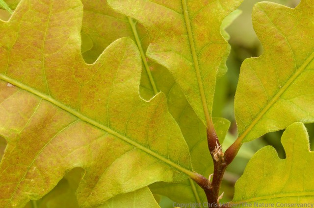 A close-up photo of bur oak leaves.