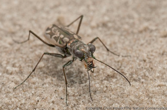 Tiger beetle.  San Jose Island.  Gulf of Mexico.  Port Aransas, Texas.