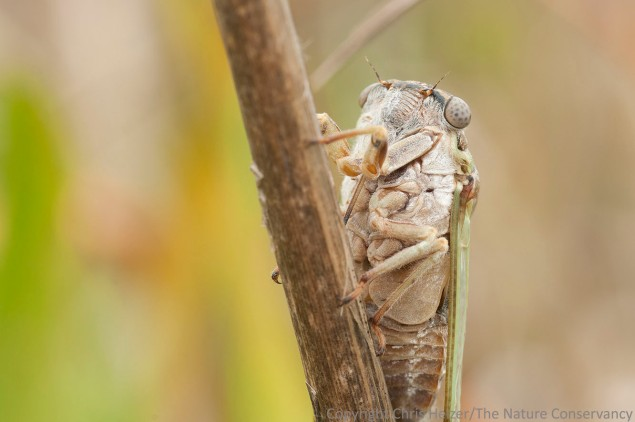 Cicada. San Jose Island.  Gulf of Mexico.  Port Aransas, Texas.